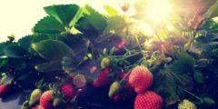 كيفية زراعة الفراولة