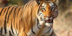 أين تعيش النمور
